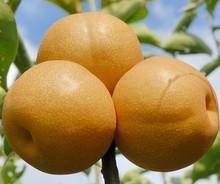 2014 New Crop Organic Fresh Fengshui Pear