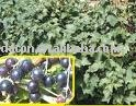 Black Currant Leaf Extract