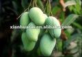 Irvingia p. E/irvingia gabonensis extracto/mango de áfrica