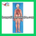 anatómica avanzado sistema circulatorio humano modelo
