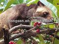 جديد 2014 100% اندونيسياالأندونيسية kopi luwak القهوة