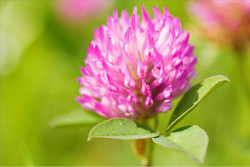 KOSHER&HALAL certificate Red Clover Extract with Isoflavone