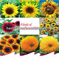Short Red/Yellow/Pink Sunflower Flower Seeds