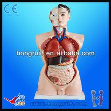 High Quality Medical Male Torso model 85cm educational anatomy mannequin torso