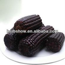 Híbrido de maíz / maíz semillas de maíz