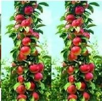 20 SEEDS - Bonsai Apple Tree Seeds fruit tree seeds * Free Shipping