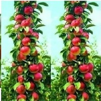 Free Shiping 10pcs Bonsai Apple Tree Seeds fruit plant tree seeds