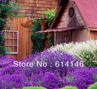 Lavender angustifolia seeds herb seed garden balcony pot Four Seasons flower seed