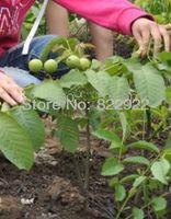 2 Bonsai Small Japanese Juglans Seeds Very Cute Lovely Home Garden Backyard New Generation FREE SHIPPING