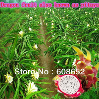 Farm AA - High Yield - dragon fruit (seed) vegetable watermelon seeds / Pack Home Garden - Free Delivery