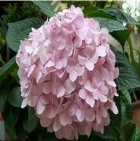 Free shipping Flower seeds Light  pink Hydrangea evergreen woody flowering long Hydrangea