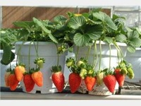 Fruit seeds plant bonsai balcony four seasons bonsai strawberry 50 bag