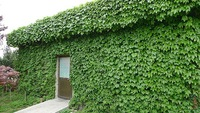 Free Shipping 40 Creeper Seeds, boston ivy seed f008