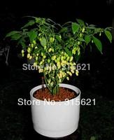 5 pcs White Habanero seeds Super hot! 300 degree of hot,high productivity,Free Shipping