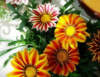 4  Original Pack ,Each Pack 50 Seeds, So Totally  200 High Quaility  Seed beautiful Gazania Flower seeds Free Shipping