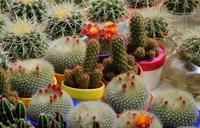 Free Shipping 10 Mixture Of Cactus Seeds ,Echinopsis tubiflora flower f006
