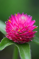 1 Packs 300 Seeds,Rosea Hort Gomphrena Flower Seeds Free Shipping