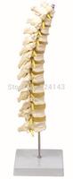 Thoracis Vertebra With Spinal Nerves