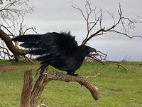 Crow props halloween  Halloween accessory