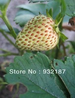Free Shipping,The Rare White Strawberry Seeds Potted Four Seasons Sowing,20pcs/Pack