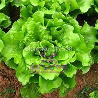 balcony bonsai lettuce seed lettce 100  pcs Vegetable seeds