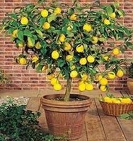 40 PCS LEMON TREE *  WITH HERMETIC PACKING * INDOOR OUTDOOR AVAILABLE * HEIRLOOM FRUIT SEEDS