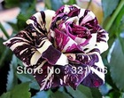 Black Dragon Rose Bush Flower Seeds 200 Stratisfied Seeds Free Shipping(China (Mainland))