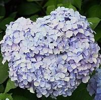 Purple Flower seeds Hydrangea seeds Viburnum macrocephalum seed Free shipping