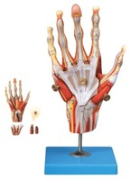 Hand muscles attached to the main blood vessels and nerves anatomical model