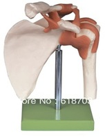 Functional shoulder medical anatomical model