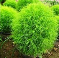 5 ORIGINAL PACKS 500 SEEDS GREEN KOCHIA SCOPARIA * HARDY PLANTS * BEAUTIFUL * PLUS MYSTERIOUS GIFT!!!