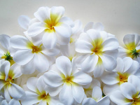 "100 Hawaiian Plumeria Frangipani Artificial Silk Flower Heads decoration 3""  hair clips, headbands,"