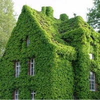 Free Shipping 200pcs/lot Green Boston Ivy Seeds Home Gardening  Wholesale  Drop Shipping