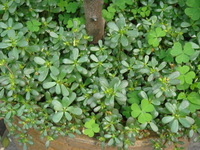 Free Shipping 1 Packs 100 Seeds Purslane Seeds
