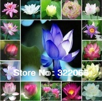 free shipping 10pcs/lot factory wholesale Lotus Seeds, Nelumbo Lotus Seeds, Germination rate 95% lotus seeds, water lily seeds