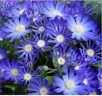Free shipping 10pcs/lot Balcony bonsai flowers seeds blue daisy seeds wholesale plant seeds