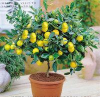 Bonsai Lemon Tree Seeds High survival Rate Fruit Tree Seeds For Home Gatden Backyard (30Pieces) Free Shipping