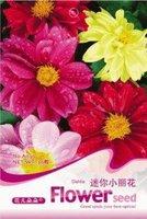 1 Pack 50 Seed Beauty Dahlia Flower Seeds  Ornamental Flower A030