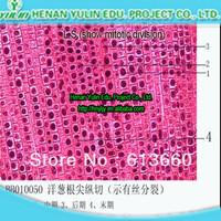 Yulin high quality prepared  microscope slide set, Root tip of Allium cepa L.S.(show mitotic division)