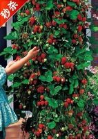 50pcs/lot red climbing strawberry Seeds  Fruit Seeds