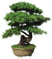 Free Shipping 30pcs/bag Japanese pine tree seeds bonsai seeds