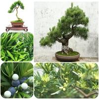 50pcs/lot Podocarpus tree seeds Yaccatree Tree Seed, Evergreen Shrubs Potted Landscape GARDEN BONSAI TREE SEED DIY HOME PLANT