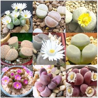 Grátis frete 24 tipos 240 pcs * Mixed sementes suculentas flor pedra importada da alemanha interior planta planta aquário de saúde