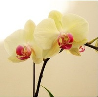 Free shipping new 1 pack 10 seeds Butterfly orchid hot sale dark yellow
