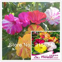 1 Original Pack Four-o'clock Jasmine Seeds 20pcs Bonsai Mirabilis jalapa Linn. Flower Seeds With Gift Free shipping