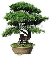 Free Shipping 20pcs/bag Japanese pine tree seeds green bonsai tree seeds for garden