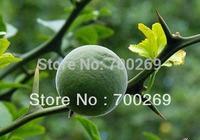 Wholesale - Poncirus trifoliata HARDY TRIFOLIATE ORANGE Tree 50 SEEDS RARE SKU20*2 Free shipping