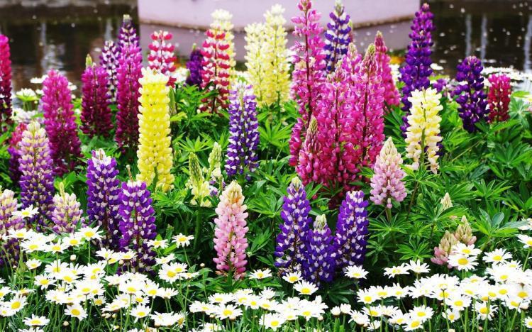 girassol anao de jardim: de semente de flor de vaso de flores de plantas de jardim bonsai flor