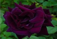 Free Shipping 400 Seeds China Louis Xiv rose seeds Rose Flower seeds