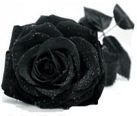 Free Shipping 220 Seeds China Rare Black Rose Flower